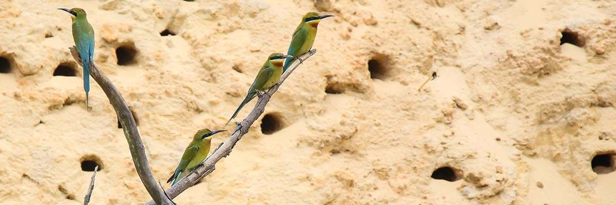 Blue-tailed bee-eaters